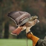 red tailed hawk leather glove release day wildlife rehabilitation
